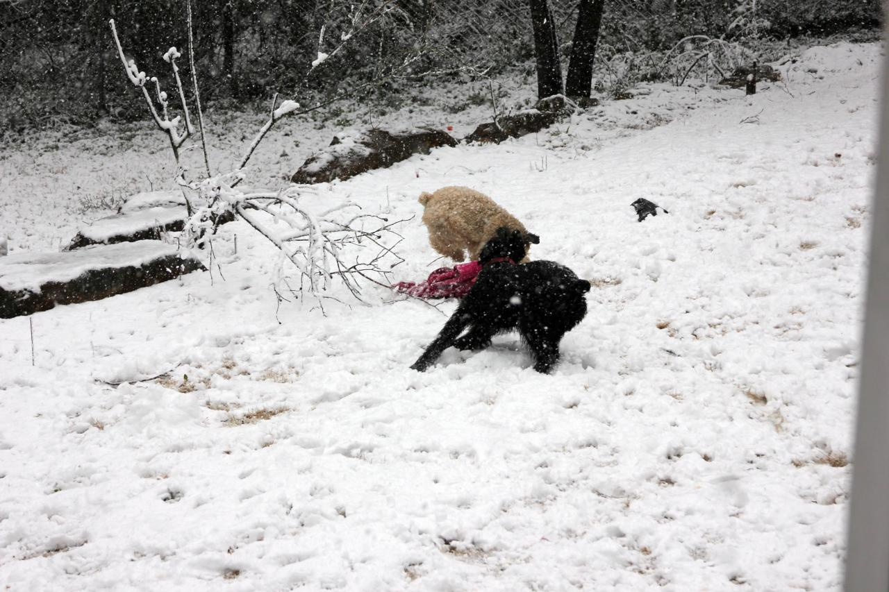 Mattie and Ziva (Giant Schnauzer) has bunches of fun playing in the rare Southern snow!