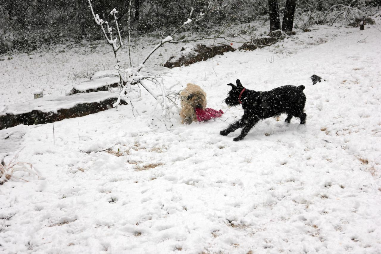 "Mattie (Soft Coated Wheaten Terrier) aka ""The Baby"" and Ziva (Giant Schnauzer) aka Whiny Britches playing in the snow."