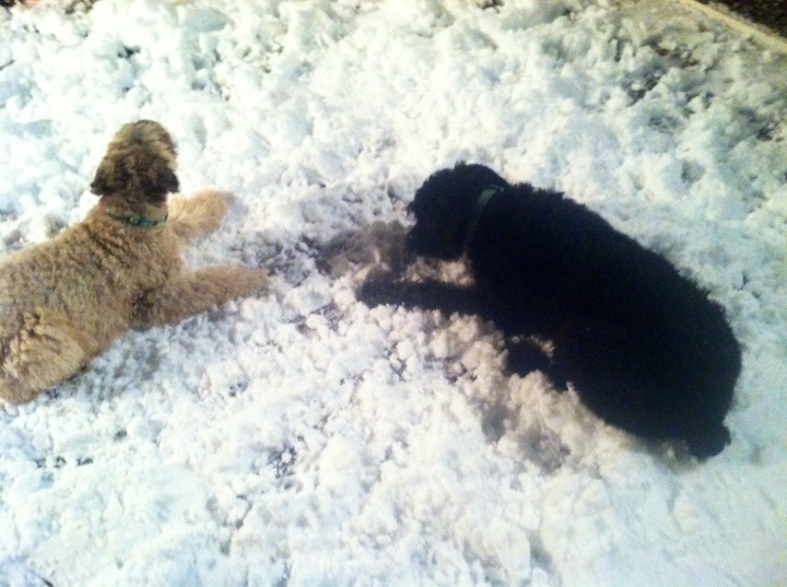 Both of the furbabies, Mattie (Soft Coated Wheaten Terrier) and Ziva, enjoyed the snow:)