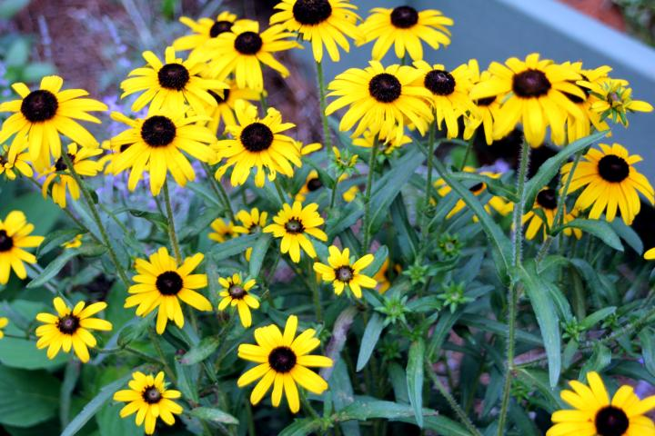 "The first flowers I picked out were ""Black Eyed Susan"". I have always loved these, and they bring back fabulous memories of living in Mississippi where Black Eyed Susan grew on the side of old dirt roads..."