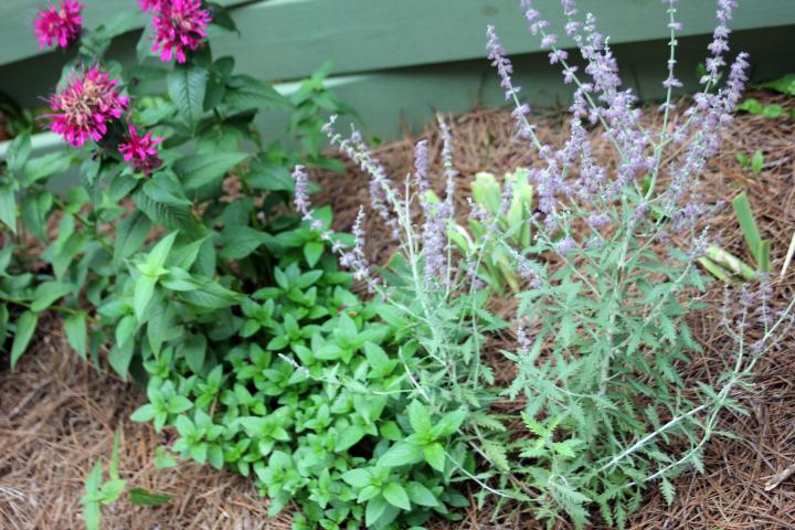 "Rusian Sage, Spearmint, and ""Grand Marshall"" Bee Balm creates a magical aroma that makes sitting outside a joy :)"