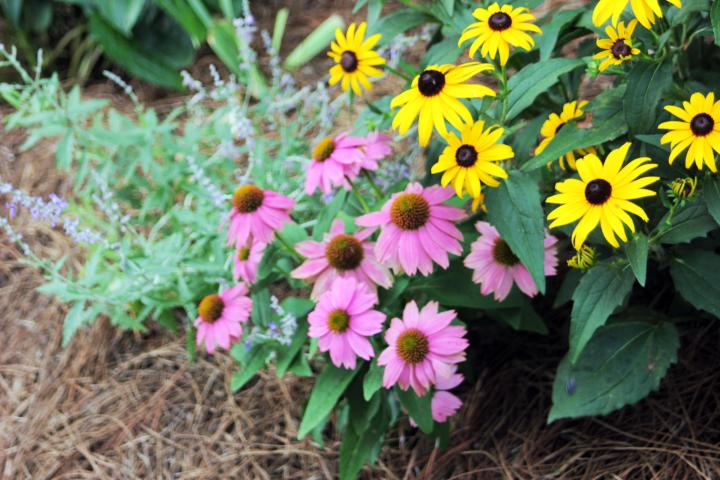 "I paired Black Eyed Susan with ""Pow Wow"" Wild Berry Coneflowers and Rusian Sage. I love the play on colors :)"